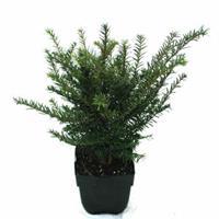 Plantenwinkel.nl Gewone taxus (Taxus baccata) conifeer