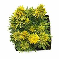 "Plantenwinkel.nl Taxus (Taxus baccata ""David"") conifeer"
