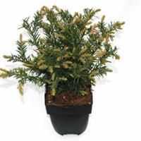 "Plantenwinkel.nl Kruipende taxus (Taxus baccata ""Repandens"") conifeer"