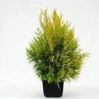 "Plantenwinkel.nl Reuzenlevensboom (Thuja plicata ""4ever Goldy"") conifeer"