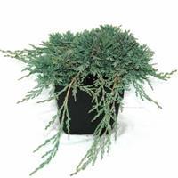 "Plantenwinkel.nl Kruipende jeneverbes (Juniperus horizontalis ""Ice Blue"") conifeer"