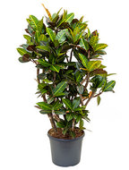 Croton petra L kamerplant