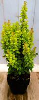 Berberis groengeel 40 cm Warentuin
