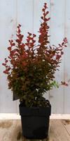 Berberis rood 40 cm Warentuin