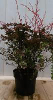 Berberis rood 70 cm Warentuin