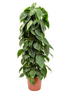 Philodendron Scandens 110 cm