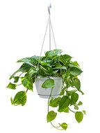 Scindapsus epipremnum aureum XXS hangplant