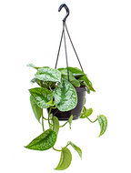 Scindapsus pictus trebie M hangplant