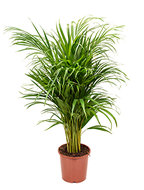Areca Palm lutescens S kamerplant