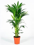 Kentia Palm howea forsteriana 5pp M kamerplant