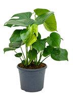 Monstera pertusem L gatenplant kamerplant