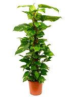 Scindapsus epipremnum aureum mosstok 120 S kamerplant