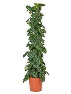 Scindapsus pictus trebie columnae kamerplant