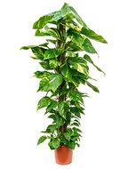 Scindapsus epipremnum aureum mosstok 150 kamerplant