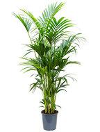 Kentia Palm 200 cm (Howea Forsteriana)