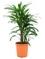 Rhapis excelsa S bamboepalm kamerplant