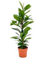 Ficus cyathistipula S kamerplant