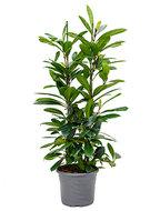Ficus cyathistipula M kamerplant