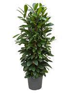 Ficus cyathistipula L kamerplant