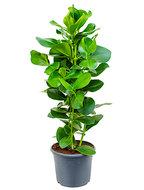 Clusia rosea L hydrocultuur plant