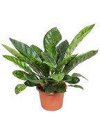 Anthurium jungle king L kamerplant