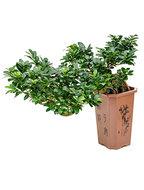 Ficus Microcarpa Compacta Cascada 75 cm (Bonsai boom)