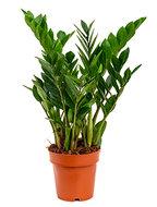Zamioculcas Zamiifolia 65 cm. (Emerald Palm)