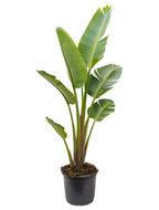 Strelitzia nicolai XXL kamerplant