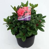 "Plantenwinkel.nl Rododendron (Rhododendron Repens ""Scarlet Wonder"") heester - 20-25 cm - 1 stuks"