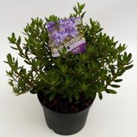 "Plantenwinkel.nl Dwerg rododendron (Rhododendron ""Azurika"") heester"