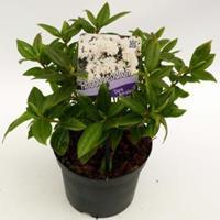 "Plantenwinkel.nl Dwerg rododendron (Rhododendron ""Dora Amateis"") heester"