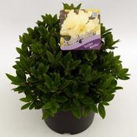 """Plantenwinkel.nl Dwerg rododendron (Rhododendron """"Golden Wonder"""") heester"""