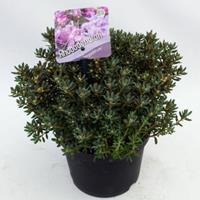 "Plantenwinkel.nl Dwerg rododendron (Rhododendron ""Impeditum"") heester - 20-25 cm - 1 stuks"