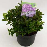 """Plantenwinkel.nl Dwerg rododendron (Rhododendron """"Moerheim"""") heester"""
