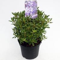 "Plantenwinkel.nl Dwerg rododendron (Rhododendron ""Night Sky"") heester - 20-25 cm - 1 stuks"