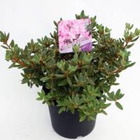 "Plantenwinkel.nl Dwerg rododendron (Rhododendron ""Ramapo"") heester - 20-25 cm - 1 stuks"