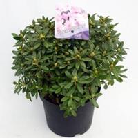 "Plantenwinkel.nl Dwerg rododendron (Rhododendron ""Snipe"") heester - 20-25 cm - 1 stuks"