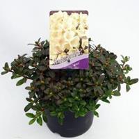 "Plantenwinkel.nl Dwerg rododendron (Rhododendron ""Wren"") heester - 20-25 cm - 1 stuks"