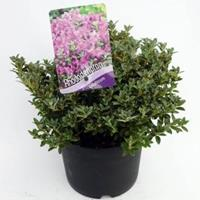 "Plantenwinkel.nl Dwerg rododendron (Rhododendron Calostrotum ""Keleticum"") heester - 20-25 cm - 1 stuks"