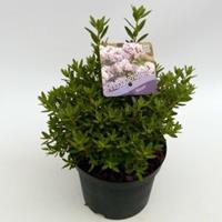 """Plantenwinkel.nl Dwerg rododendron (Rhododendron Impeditum """"Album"""") heester"""
