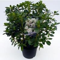 """Plantenwinkel.nl Rododendron (Rhododendron Japonica """"Schneewittchen"""") heester"""