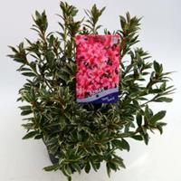 "Plantenwinkel.nl Rododendron (Rhododendron Japonica ""Silver Sword"") heester - 30-35 cm - 1 stuks"
