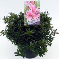 "Plantenwinkel.nl Rododendron (Rhododendron Satsuki ""Korin"") heester"