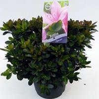 "Plantenwinkel.nl Rododendron (Rhododendron Satsuki ""Shinzan"") heester"
