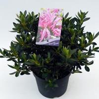 """Plantenwinkel.nl Rododendron (Rhododendron Satsuki """"Shiryu-no-Homare"""") heester"""