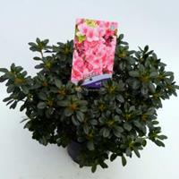 "Plantenwinkel.nl Rododendron (Rhododendron Japonica ""Anne Frank"") heester - 30-35 cm - 1 stuks"