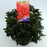 "Plantenwinkel.nl Rododendron (Rhododendron Japonica ""Geisha Orange"") heester - 30-35 cm - 1 stuks"