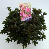 "Plantenwinkel.nl Rododendron (Rhododendron Japonica ""Geisha Pink"") heester - 30-35 cm - 1 stuks"