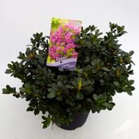 "Plantenwinkel.nl Rododendron (Rhododendron Japonica ""Geisha Purple"") heester - 30-35 cm - 1 stuks"