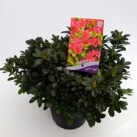 "Plantenwinkel.nl Rododendron (Rhododendron Japonica ""Geisha Red"") heester - 30-35 cm - 1 stuks"
